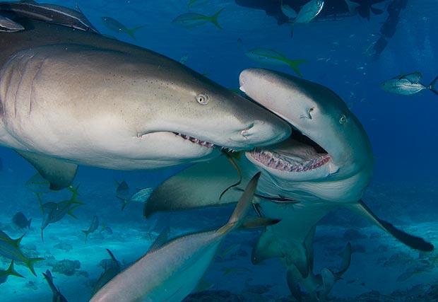 shark_kissing